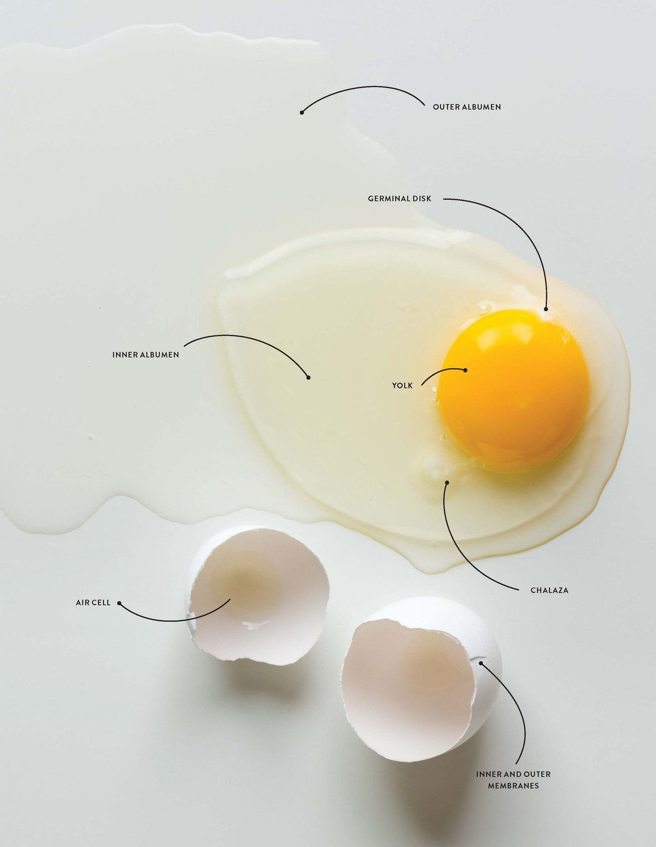 anatomie of an egg